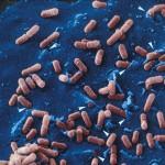Entrée de Listeria dans une cellule épithéliale (Grossissement X 10000). Image colorisée.