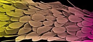 Vue des écailles sur une patte de moustique Anopheles Gambiae en microscopie électronique à balayage.
