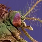 Tête de moustique femelle Aedes albopictus, vecteur du virus de la dengue et du chikungunya. Microphotographie électronique à balayage, image colorisée.