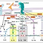 LPS-induced intracellular signaling cascade. Following its binding to CD14, LPS interacts with MD2 / TLR4 signaling complex. Two main pathways are activated either MyD88-dependent leading to  NF-kappaB activation and IL-1 and TNF production or TRAM/TICAM-2 ad TRIF/TICAM-1 dependent leading to the activation IRF3 and interferon-? (IFNgamma) production. Other down-stream pathways lead to the activation of Sp1, a prerequisite for IL-10 production, while pI-3 kinase is involved in IL-1ra induction. Numerous intracellular molecules (MyD88s, Tollip, IRAK-M, SOCS-1, pI-3-kinase) and cell surface molecules (ST2, SIGGIR) down-reguate the activating cascade. During sepsis,  reprogrammation of leukocyte is associated witn some altered (grey background) or enhanced (yellow background) cellular signaling pathways that lead to the modified production of TNF, IL-1beta IL-1ra and IL-10 in response to TLR4 ligands. This cartoon illustrates our published works (Adib-Conquy et al. J. Leuk. Biol. 2001, 70:30; Adib-Conquy et al. Am. J. Respir. Crit. Care Med. 2003, 168, 158 ; Adib-Conquy et  al. Crit. Care Med. 2006, 34: 2377), and other reports (Learn et al. J. Biol. Chem. 2001; 276:20234 ; Solomon et al. J. Clin. Invest. 1998; 102: 2019). (adapted from Annane D, Bellissant E, Cavaillon JM, Septic Shock, The Lancet, 2005, 365:63)