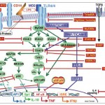 Negative regulators of the TLR4-dependent signaling. During the last few years, a great number of numerous intracellular molecules that counteract the TLR4-MyD88-dependent signaling pathway, have been identified. Their involvement in endotoxin tolerance and in leukocyte reprogramming of circulating cells derived from septic and critically ill patients is under investigation (adapted from Cavaillon & Adib-Conquy, Crit. Care 2006, 10, 233)