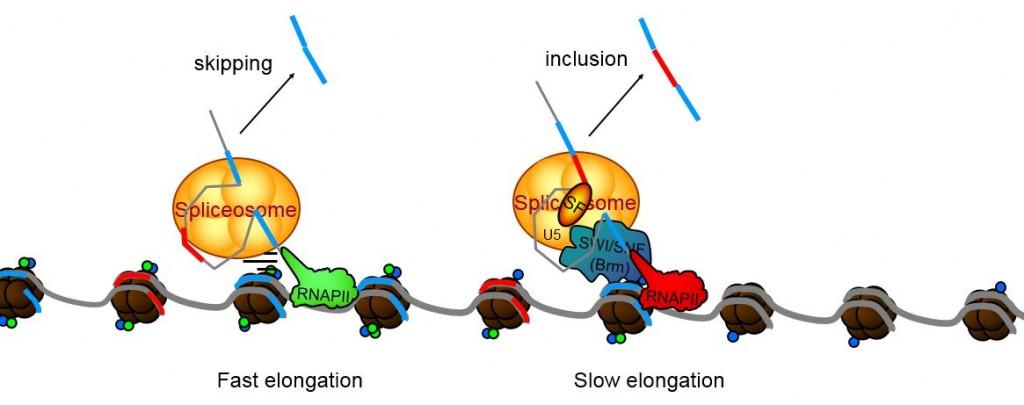 SWI-NSF chromatin RNAPII speed Batsche