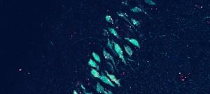Tranche d'hippocampe de souris colorée avec deux toxines spécifiques de sous-types de récepteur nicotinique, en rouge (grains), et en vert (corps cellulaires). L'hippocampe est la zone du cerveau qui gère la mémoire spatiale.