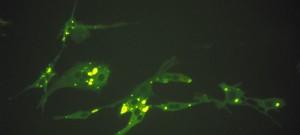 Culture de myotubes murins infectés par le virus de la rage fixe, observée en immunoflorescence indirecte.