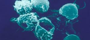 Macrophages et lymphocytes de souris. Image colorisée.