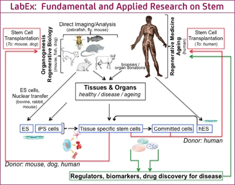 LabEx: Fundamental and Applied Research on Stem Cells