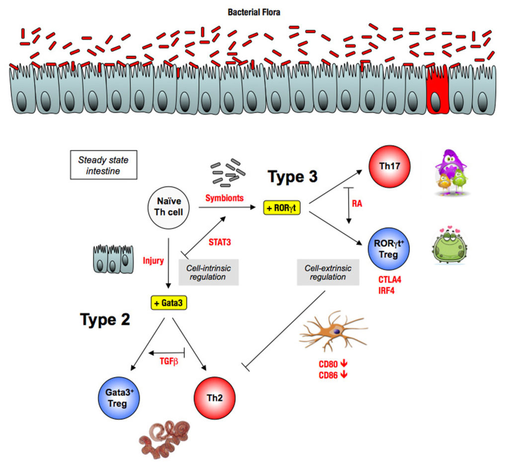 Regulation type 2 by microbiota