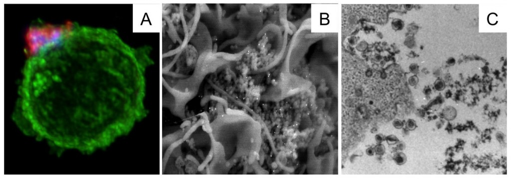 Biocelly - HTLV1 biofilm Fig.1