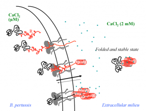 Secretion process of CyaA illustrating the intrinsically disordered nature of the apo-state inside cell and the calcium-loaded folded state in the extracellular milieu.