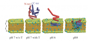 Scheme of the pH-dependent membrane insertion process of the DT T domain. From left to right, membrane at pH 7 in the absence of T; membrane at the same pH in the presence of T; the membrane-bound state of T at pH 6; the membrane- inserted state of T at pH 4. Membrane layers, the T domain and water molecules are scaled. Red and blue cylinders represent the helical backbone of the N- and C-terminal regions of T, respectively. The depth of penetration and the orientation of helices are inferred from neutron scattering and solid-state NMR, respectively. The water molecules correspond to the contents determined for each layer from neutron experiments. The vertical bars are 1 nm scale. Picture from Chenal et al., 2009, JMB.