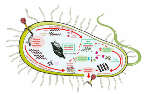 PAK_P3-InfectiousCycle
