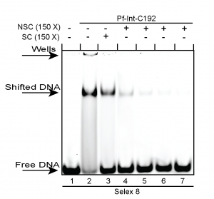 Pf_Int_DNA_binding_S8