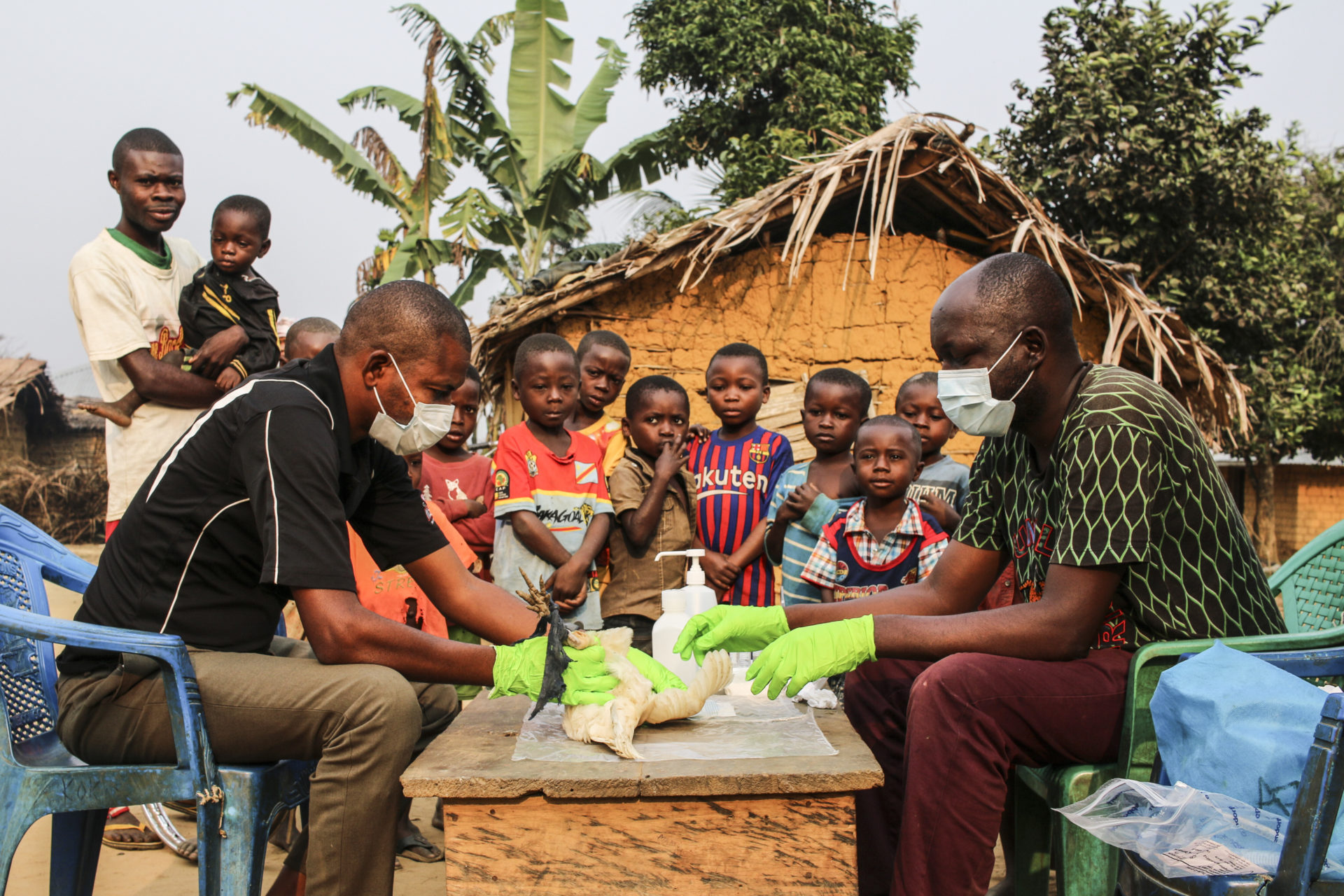 Blood sampling on chicken, Bodzuna village, DRC, august 2019