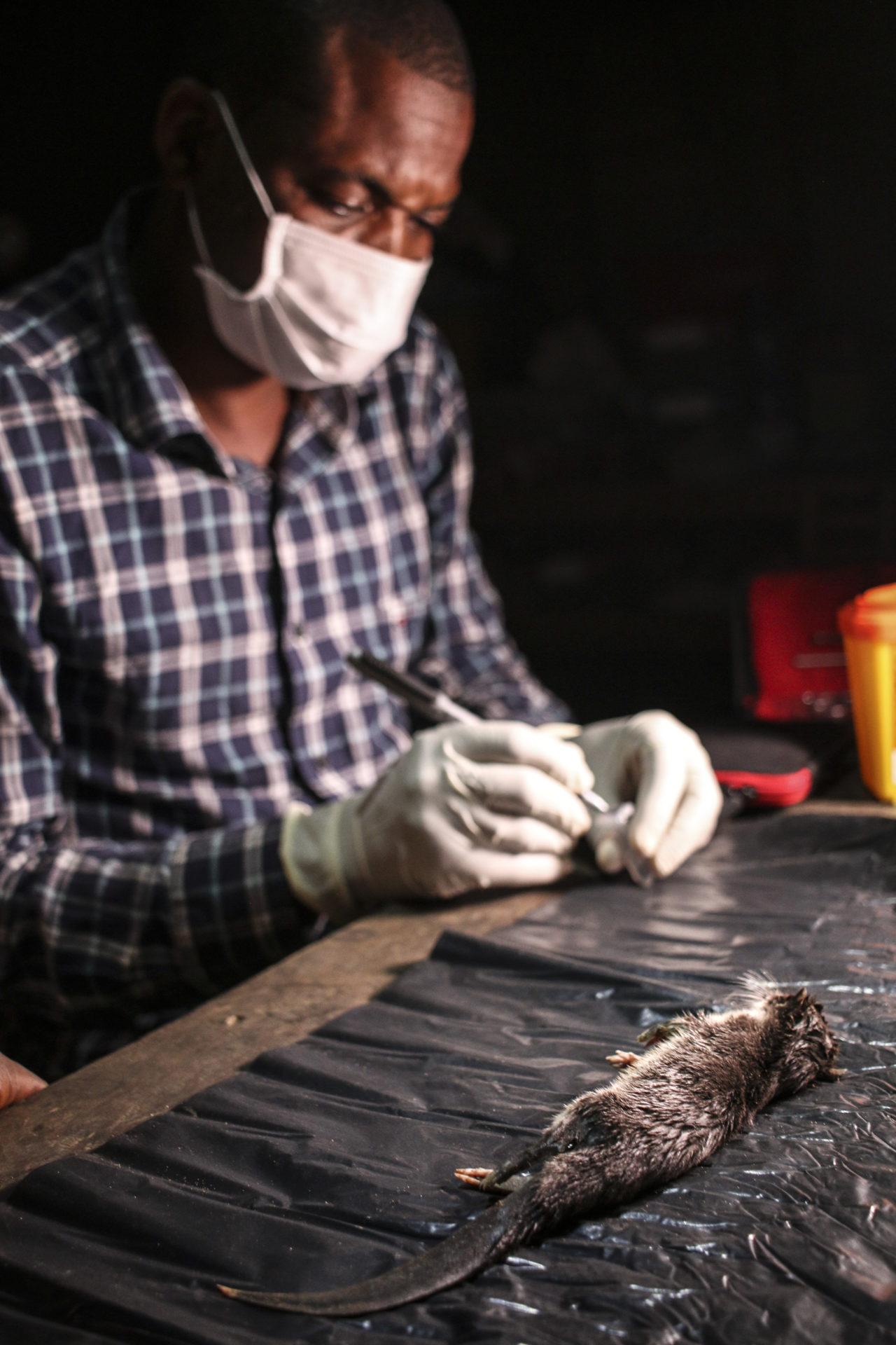 Local assistant taking biological samples on a Potamogale